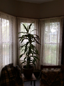 Look beyond the plant to the lace curtains. $10 for three sets.
